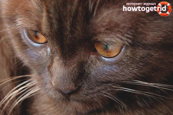 Содержание и уход йоркской шоколадной кошки