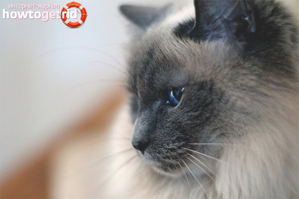 Содержание и уход кошек балинез