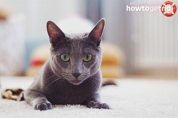Содержание и уход русской голубой кошки
