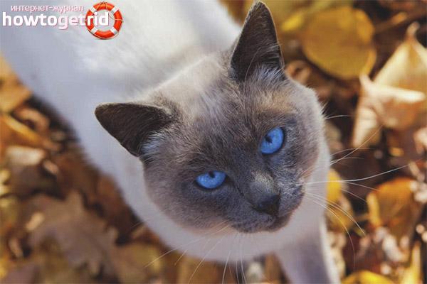 Содержание и уход тайской кошки