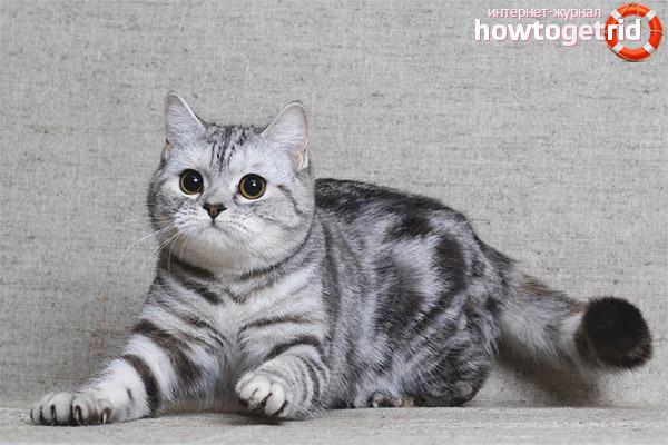 Стандарты породы кошек скоттиш-страйт