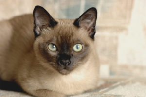 Тонкинская кошка