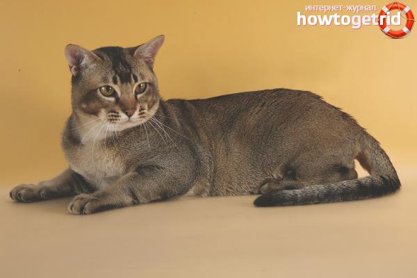Уход и питание кошек породы азиатская табби
