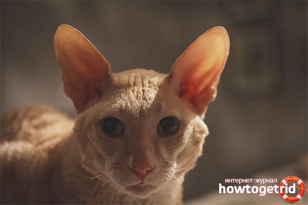 Уход и содержание кошек корниш-рекс