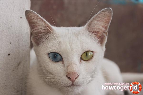 Уход и содержание кошки породы као мани
