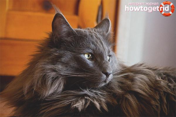 Уход и содержание норвежских лесных кошек
