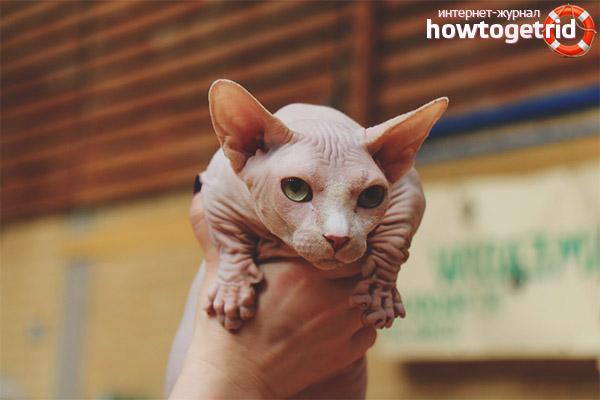 Уход за кошками бамбино