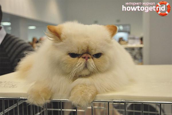 Уход за персидскими кошками