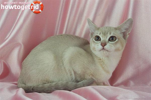 Ухода и содержания кошек породы бурмилла
