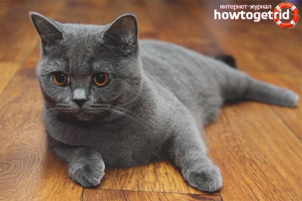 Виды окраса шотландский вислоухих кошек