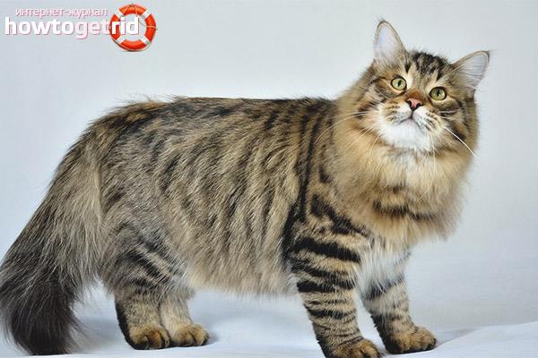 Внешний вид сибирской кошки