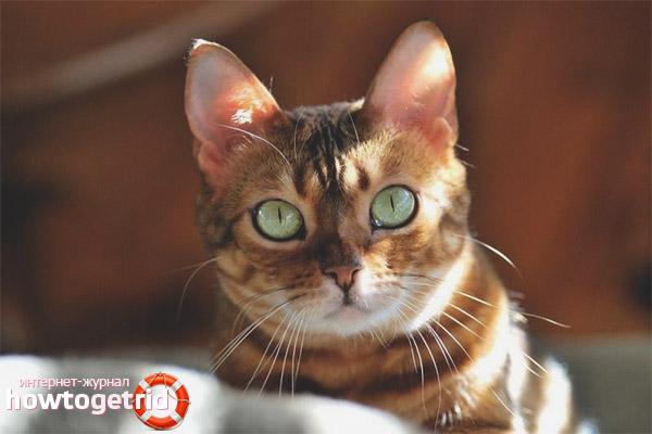 Здоровье анатолийской кошки
