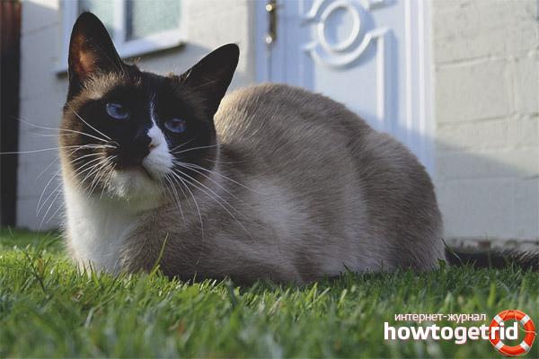 Здоровье кошки породы сноу шу