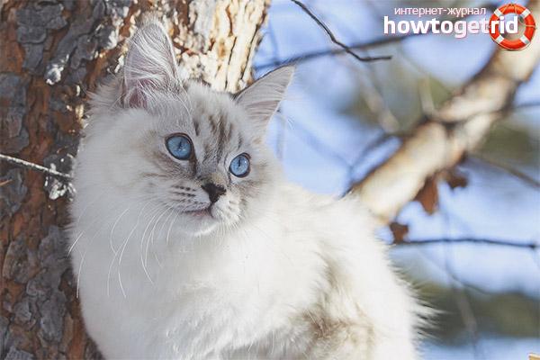 Здоровье невской маскарадной кошки