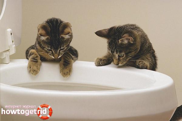 Как понять, что котенок хочет в туалет