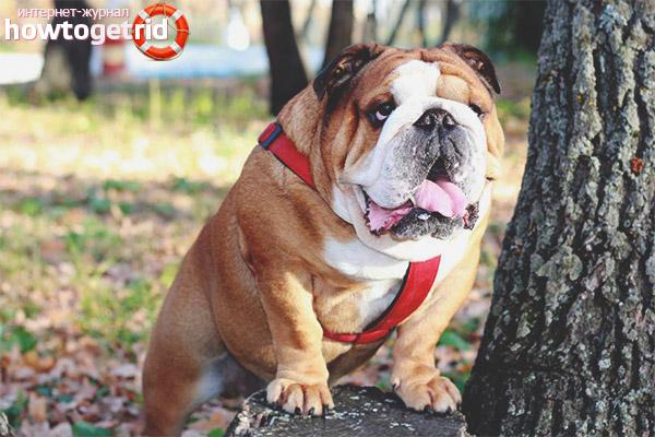 Порода собак английский бульдог