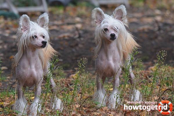 Порода собак хохлатая китайская