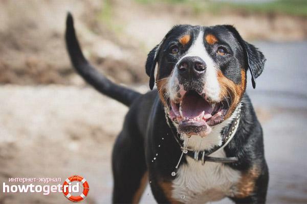 Порода собак швейцарский зенненхунд