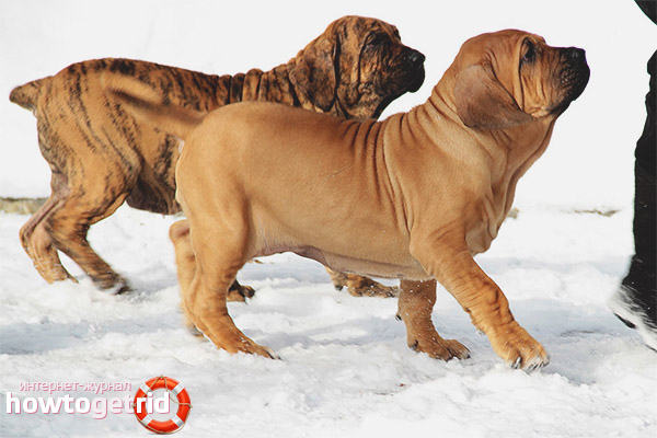 Повадки собаки породы фила бразилейро