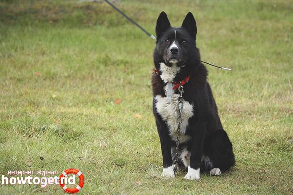 Уход и содержание карельской медвежьей собаки