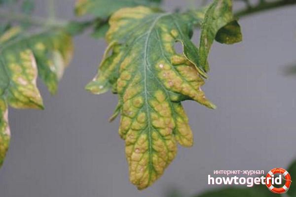 Желтые листья у томатов
