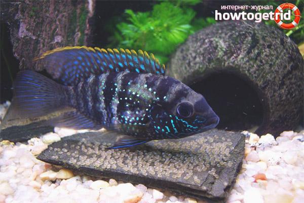 Аквариумная рыбка акара голубовато-пятнистая