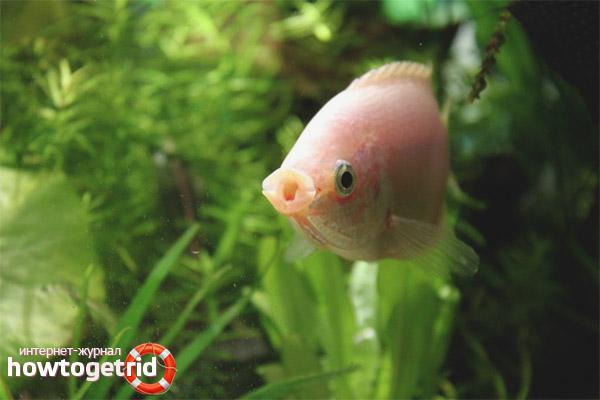 Аквариумная рыбка целующийся гурами