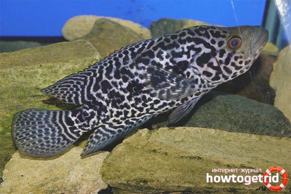 Аквариумная рыбка цихлазома манагуанская