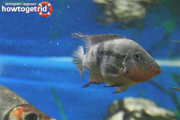 Аквариумная рыбка цихлазома меека