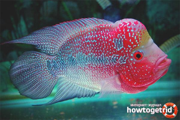 Аквариумная рыбка флауэр хорн