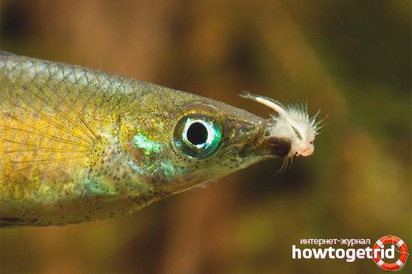 Аквариумная рыбка ириатерина вернера