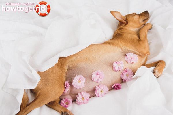 Беременность у маленьких пород собак