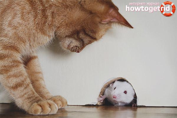 Что делать, если кот съел отравленную мышь