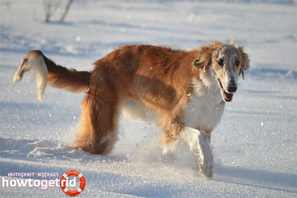 Характер русской псовой борзой