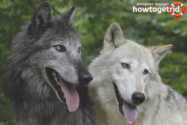История возникновения волкособа