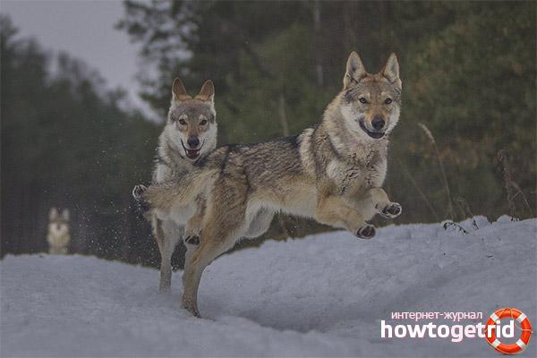 Как содержать чехословацких влчаков