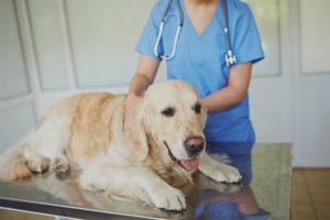 Ложная беременность у собак