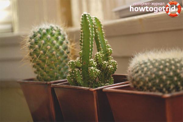 Можно ли держать кактусы дома