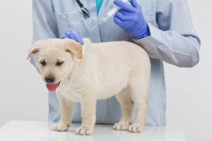 Можно ли гулять с собакой после прививки