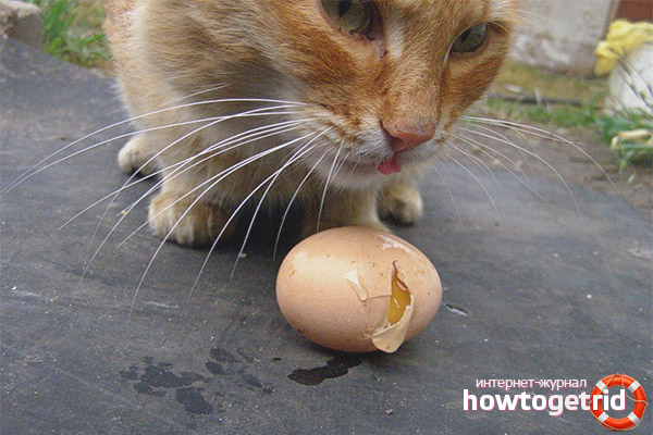 Можно ли кошкам давать сырые яйца