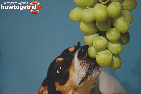 Можно ли собакам давать виноград