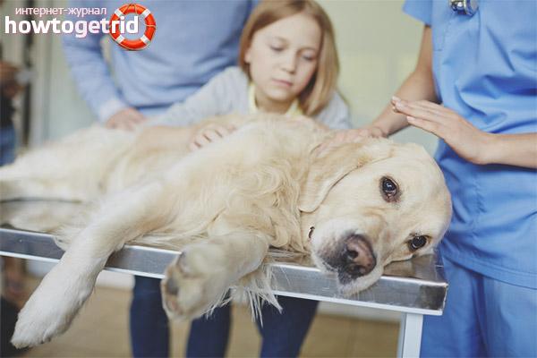 Оказание первой помощи при отравлении собаки крысиным ядом