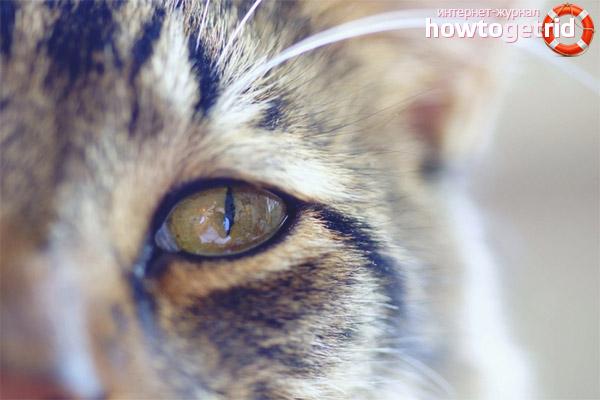 Осложнения при конъюнктивите у котов