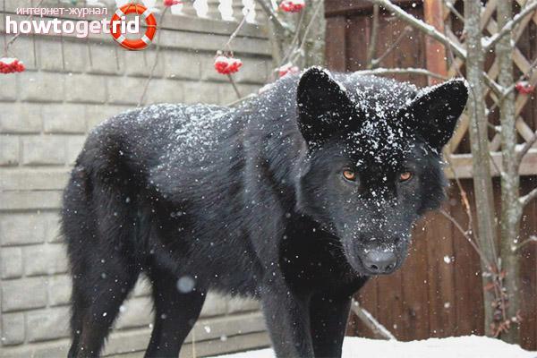 Особенности характера волкособа