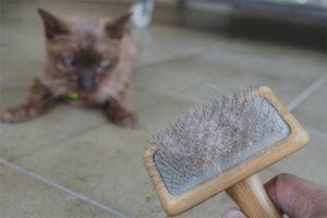 Перхоть у кошек и котов