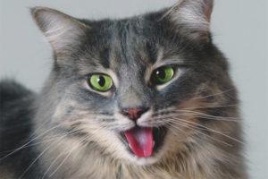 Почему кошка дышит с открытым ртом