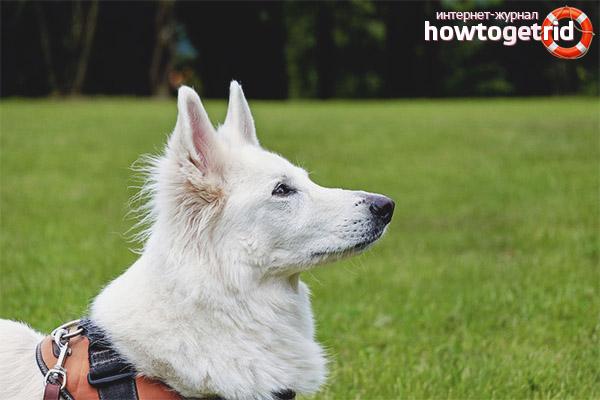 Порода собак белая швейцарская овчарка