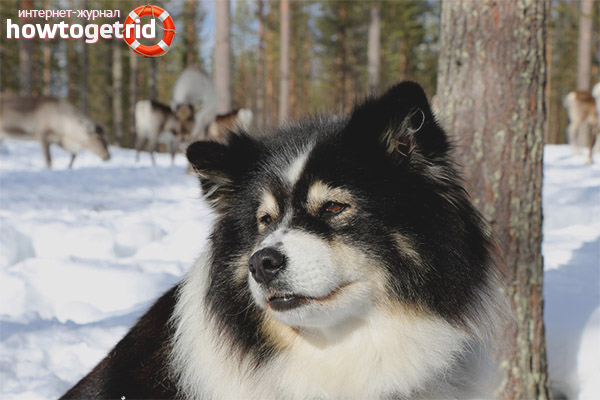 Порода собак финский лаппхунд