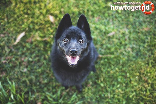 Порода собак шипперке