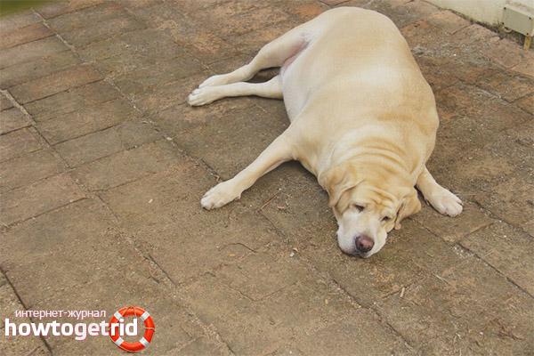 Последствия ожирения у собак